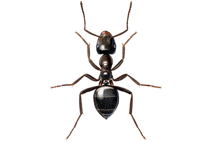 Maur i plantekasse