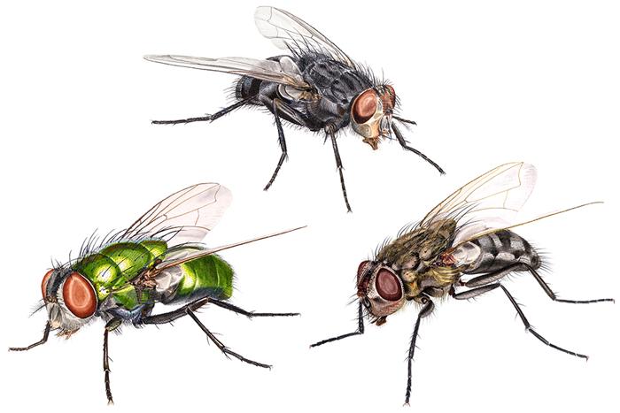 fakta om fluer