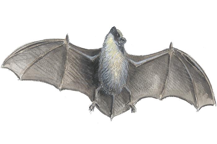 Flaggermus sykdommer