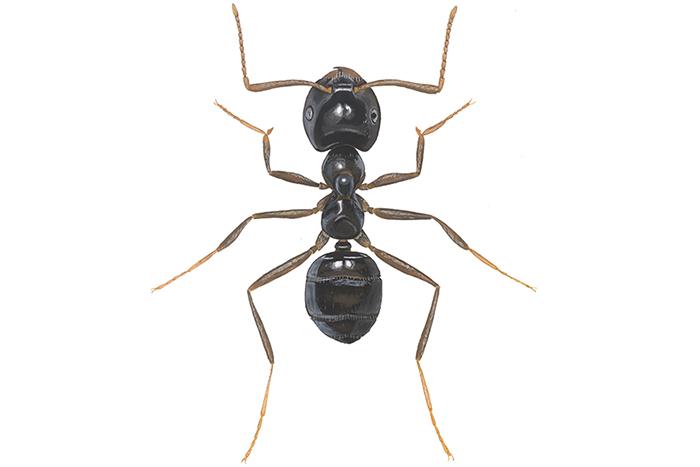 Maur inne på vinteren er et typisk tegn på angrep