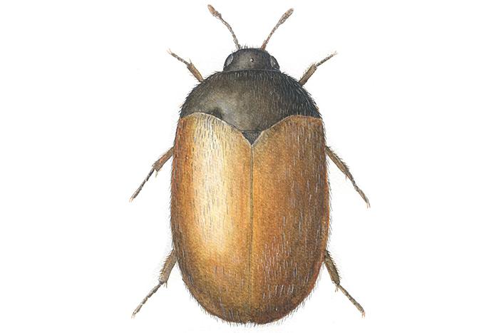 stor brun bille