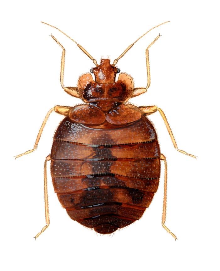 Bed Bugs Niph